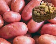 Lire la suite de La pomme de terre : une vraie source d'énergie !