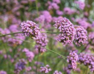Lire la suite de Verveine: la plante aux 1001 vertus