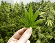 Lire la suite de Le cannabis reste la drogue préférée des Français – Etude